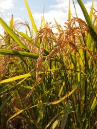 yamadas-rice-fields-978737_960_720
